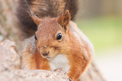 Close up portrait of a pretty red squirrel Stock Photography