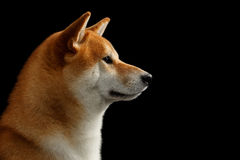 Close-up Portrait in Profile Shiba inu Dog,  Black Background Stock Photo