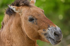 Close-up portrait of Przhevalsky`s horse in the zoo. Equus ferus przewalskii Royalty Free Stock Photos