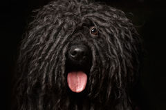 Close up Portrait of Puli Dog  on Black Stock Image