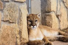Close-up portrait of Puma Mountain Lion. Close-up portrait of Puma cub at rest stock image