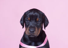 Close up Portrait of Puppy with pink belt Stock Photo