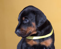 Close up Portrait of Puppy with yellow belt Royalty Free Stock Images