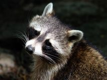 Close-up portrait of raccoon with `bandit`s mask` stock images