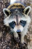 Racoon Close up. Close up portrait of a racoon focus is on the eyes Stock Photos