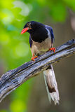 Close up portrait of Red-billed blue magpie Royalty Free Stock Photography