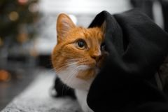 Close-up portrait of red cat hiding under black blanket.  stock photos