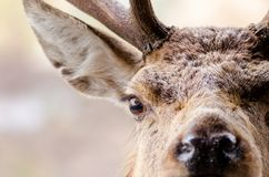 A close up portrait of a red deer in Scotland with water droplet royalty free stock photography