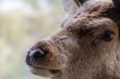 A close up portrait of a red deer in Scotland with water droplet Royalty Free Stock Images