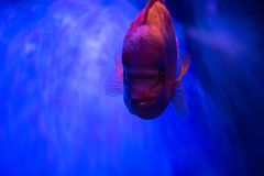 Close up portrait of red fish on blue background. Sea pets aquarium Royalty Free Stock Photography