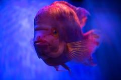 Close up portrait of red fish on blue background. Sea pets aquarium Stock Photo