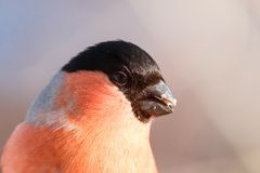 Portrait of male bullfinch with blue to pink blurred background stock image