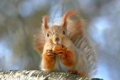 Close up portrait of the red squirrel with a wallnut on the tree Royalty Free Stock Images