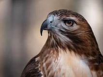 Close up portrait of red-tailed hawk. In profile with fierce stare royalty free stock photos