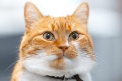 Close-up portrait of red white Norwegian cat. Close-up portrait of red white Norwegian cat stock photos
