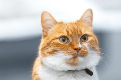 Close-up portrait of red white Norwegian cat. Close-up portrait of red white Norwegian cat stock photography
