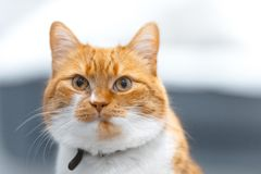 Close-up portrait of red white Norwegian cat. Close-up portrait of red white Norwegian cat royalty free stock image