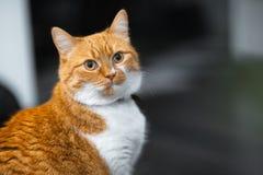 Close-up portrait of red white Norwegian cat.  stock photo