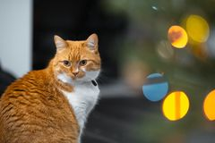 Close-up portrait of red white Norwegian cat.  royalty free stock photo
