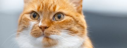Close-up portrait of red white Norwegian cat. Close-up portrait of red white Norwegian cat royalty free stock images