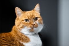 Close-up portrait of red white Norwegian cat.  royalty free stock photos