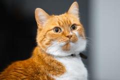 Close-up portrait of red white Norwegian cat.  stock image