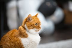Close-up portrait of red white Norwegian cat.  stock photography