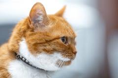 Close-up portrait of red white Norwegian cat profile face. Close-up portrait of red white Norwegian cat profile face royalty free stock photography
