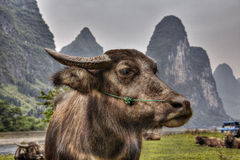 Close-up portrait of reddish cows grazing in pasture, Li river. Close-up portrait of a red bull grazing in a pasture by the river Lijiang, in the agricultural Stock Photo