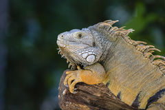 Close up portrait of a resting iguana in Island Mauritius Stock Photo