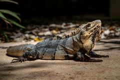 Close-up portrait of a resting Iguana in Mexico. stock photography
