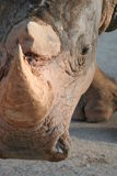 Rhino face portrait Royalty Free Stock Photos