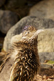 Roadrunner Portrait Stock Image
