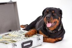 Close up portrait of rottweiler with suitcase of money. royalty free stock photos