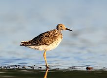 Close up portrait of a ruff. Stands on the water Royalty Free Stock Images