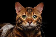 Close-up Portrait Sad Bengal Male Cat on Isolated Black Background Royalty Free Stock Image