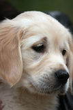 Close-up portrait of sad puppy labrador Stock Photography