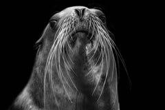 Sea Lion. Close-up portrait of a Sea lion royalty free stock image