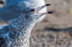 Seagull close up portrait Royalty Free Stock Photo