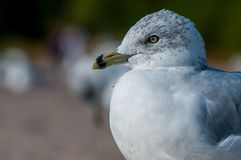 Seagull close up portrait Royalty Free Stock Photography