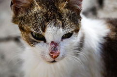 Close up portrait of serious wounded cat with long whiskers. Close up portrait of serious and sad wounded cat with long whiskers stock photography