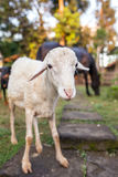 Close-up portrait of a sheep and a horse Royalty Free Stock Images