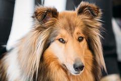 Close up portrait of Shetland Sheepdog, Sheltie Stock Photos