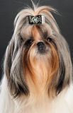 Close-up portrait of shih tzu dog Stock Images