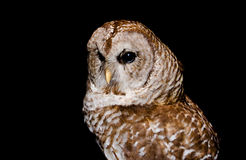 portrait  of  a short eared owl Stock Photo