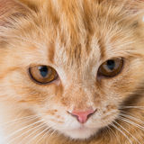 Close up portrait shot of a pet cat Stock Photos