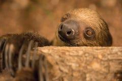 Close-up portrait of a two-toed sloth indoors. Close-up portrait of a shy Linnaeus`s two-toed sloth Choloepus didactylus. Dubai, UAE Royalty Free Stock Photography