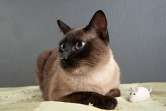 Close-up portrait of Siamese cat royalty free stock photos