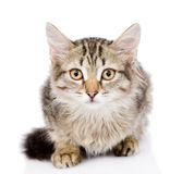Close-up portrait of  Siberian cat. looking at camera.  Stock Images