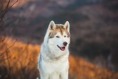 Close-up portrait of Siberian Husky dog sitting on the snow in the winter forest at sunset on mountain background. Close-up portrait of gorgeous Siberian Husky stock photography